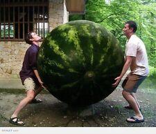 Rare seeds » CAROLINA CROSS var. watermelon Citrullus lanatus - 10 fresh seeds