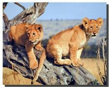 Lion Cubs Wildlife Animal Wall Decor Art Print Poster (16x20)