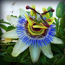 "Passiflora ""Cavaliers star""  liana Flower perennials Seeds. 20 SEEDS"