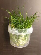 Aquatic Plant Micro Sword Narrow Leave Lilaeopsis Mauritiana