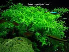 Rotala Indica Green Rotundifolia Bunch Apf Live Aquarium Plants Buy2Get1Free*