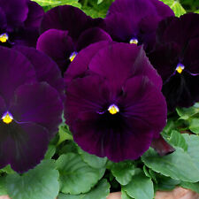 Swiss Giant Purple pansy seeds 10 per pack Usa grown &shipped. Great for winter