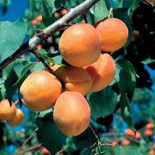 Mini Goldcot Apricot Tree-Has fruit sooner than a large tree in a smaller space