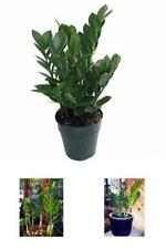 "Rare Live Plant Zamioculcas zamiifolia Hardy House Plant - 6"" Pot Indoor NEW"
