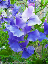 BLUE ROYAL SWEET PEA - 20 seeds - FLORA NORTON - Lathyrus Odoratus - Flower