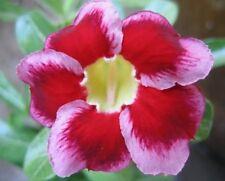 5 seeds ADENIUM,SantaCros, Arabicum, Desert Rose
