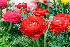 20 Ranunculus Asiaticus RED Summer Flowering Bulbs Garden Perennial Plant Corms