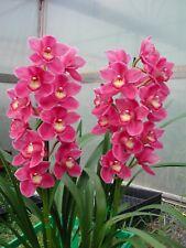 Cymbidium flowering size Lunar Blaze x Valley Olympic Orchid 200mm pot