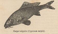 C8816 Cyprinus carpio - Stampa antica - 1892 Engraving