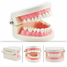 New Dental Dentist Flesh Pink Gums Standard Teeth Tooth Teach Model UK STOCK