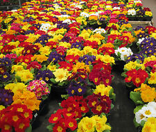 FLOWER POLYANTHUS CROWN EXHIBITION STRAIN MIXED - 250 FLOWER SEEDS