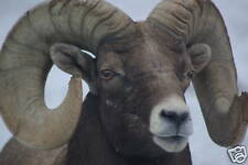 Rocky Mountain Bighorn Sheep Taxidermy Reference Cd