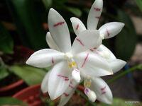 Orchid species Seedling garden plant - Phalaenopsis Tetraspis