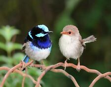 METAL REFRIGERATOR MAGNET Male Female Superb Fairy-Wren Birds Travel Australia