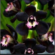 Bonsai Black Cymbidium Orchid 100 Pcs Seeds Plants Flower Orchid Home Garden New