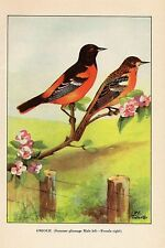 """1926 Vintage TODHUNTER BIRDS """"ORIOLE"""" LOVELY 90 YEARS OLD Color Art Lithograph"""