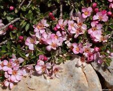 Mountain, creeping, spreading or prostrate cherry (Prunus prostrata) 10 seeds