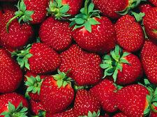 Fort Laramie Everbearing Strawberry 10 Bare Root Plants - Hardiest Everbearer