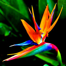 ORANGE BIRD of PARADISE SEEDS (Strelitzia reginae) Tropical Crane Flower Plant