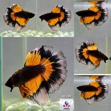 Live Betta Fish AG224 Fancy Black Mustard Gas HM Rose Gold Premium Grade