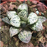 Haworthia Succulent plants potted Plants Home Garden Bonsai Garden Decor