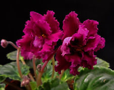 African violet Harmony's Frilly Girl live plant in pot