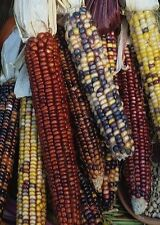 200 Carousal Ornamental  Corn Seeds FALL DECORATION