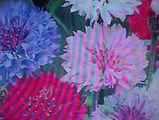1/8-Pound Bachelor Button-Tall Mixed Color 11,500 Seeds