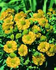 50+ Helenium Hoopesi Golden Flower Seeds / Perennial