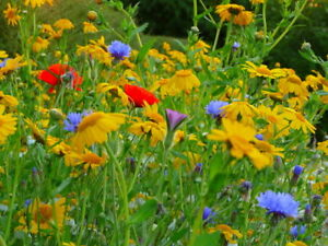 Ultimate mix of poppies,cornflowers,corncockle, marigolds, sweet chamomile 10gm