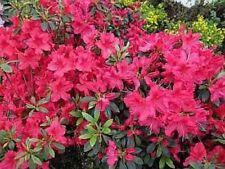 Giapponese AZALEA Georg Arends 20-25cm Rhododendron obtusum-Nano Alpi Rose