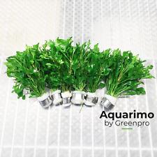Alternanthera Reineckii Variegatus 6 Bundles Freshwater Aquarium Plant Tank