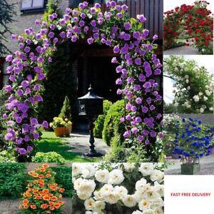 Climbing Roses Various Colors Tree Seeds Flower Flower for Garden UK STOCK