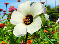 FLOWER OF AN HOUR - 120 seeds - bladder ketmia - Hibiscus Trionum  flower