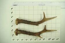 Nice Pair ROE Antler Stag for Knife Dagger Door Walking Handle # 3967