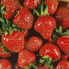 Quinalt Everbearing Strawberry 10 Bare Root Plants - Huge Fruit Size