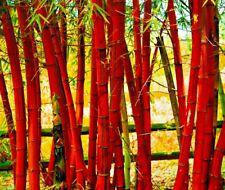 50+ Bamboo Seeds Bambusoideae Poaceae Rare Garden Plant bamboo rare red plant