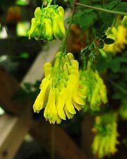 10 semillas trepamuros corazón flor-Dactylicapnos (Dicentra) scandens-invierno duro
