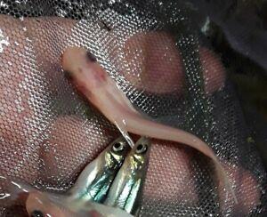 ALBINO IRIDESCENT SHARKMINOW CATFISH (Pangasianodon hypophthalmus) Regular Size