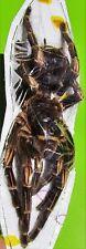 Large Orange Banded Tarantula Female Acanthoscurria juruenicola FAST FROM USA