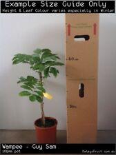 Wampee - Guy Sam (Clausena lansium) Fruit Tree Plant