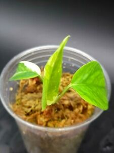 Epipremnum Pinnatum Albo rare houseplant White variegated aroid  US Seller