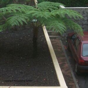 antarktischer Baumfarn winterharte schnellwüchsig Exoten Palmen für den Garten -
