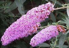 200 Samen Schmetterlingsflieder (Buddleja davidii), Magnet für Schmetterlinge