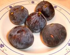 4 Rarely Offered Malta Black Fig Tree cuttings