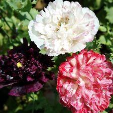 Poppy Peony Seeds - Antique Shades 1000 Seeds