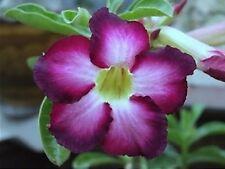 5 seeds Adenium,Siam Violet, Arabicum, Desert Rose