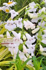 Penstemon White Snowstorm perennial Jumbo Garden Plug Plant X 3