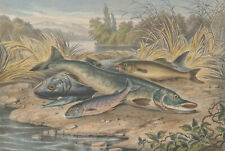 Thinot Lorette - c.1860 Lithograph, River Fish