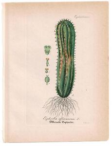Antique Botanical Print Euphorbia Officinarum Artus-Kirchner-1876